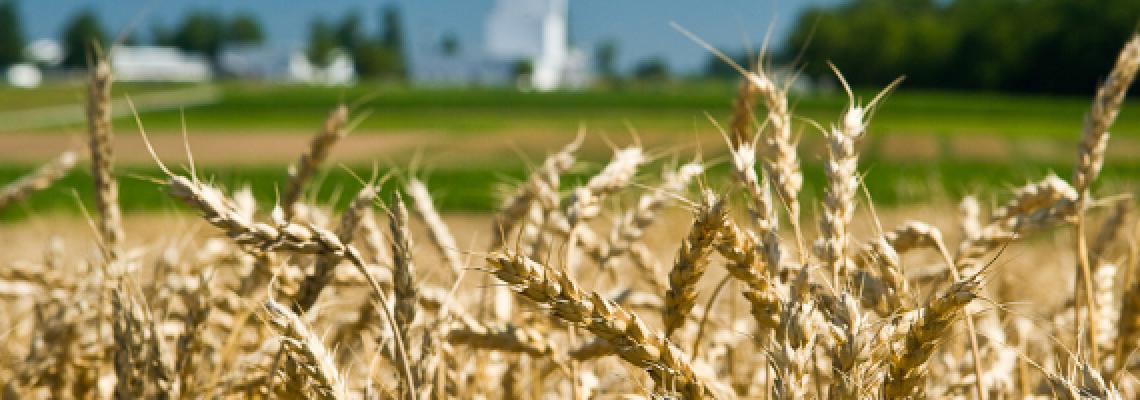 Kentucky wheat field.